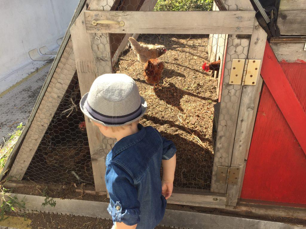 Chooks at farm